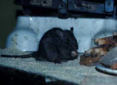 File photo of a black rat