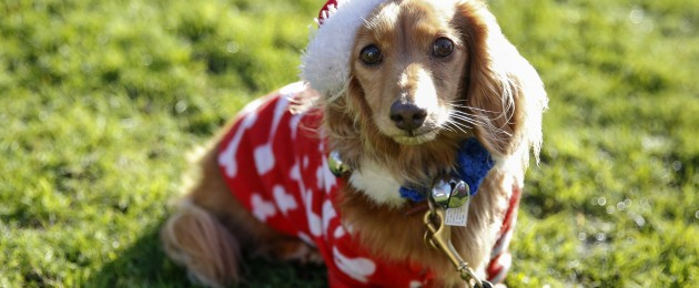 A dog taking part in a sausage dog festive walk in Hyde Park, London.