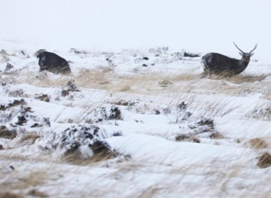 Wild Sika deer search for food in the snow on the Wicklow mountains.