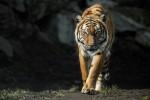 Stock image of a Malayan tiger.