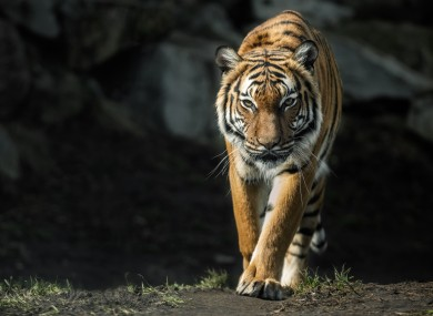 Stock image of a Malayan tiger.