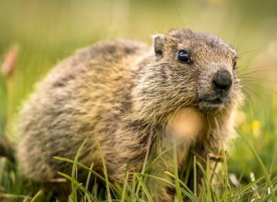 File photo of a marmot.