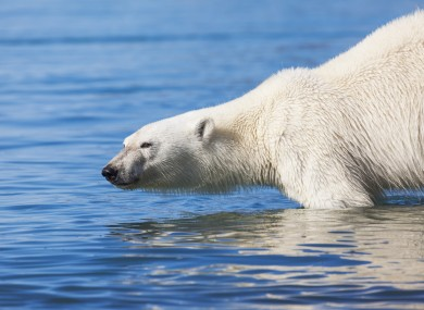 File image: A polar bear swimming in the Arctic waters off Svalbard, Norway.