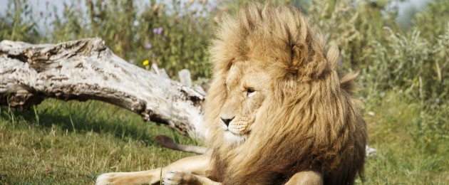 A lion at Yorkshire Wildlife Park, Doncaster, as the park celebrates World Lion Day
