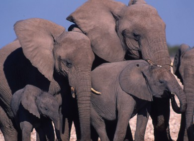 Elephants in central Africa have seen populations tumble