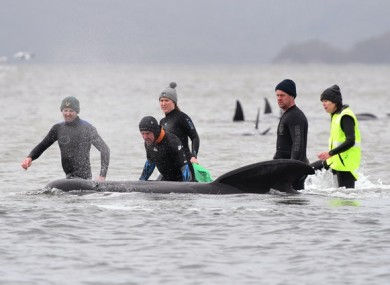 Members of a rescue crew stand with one of the stranded whales