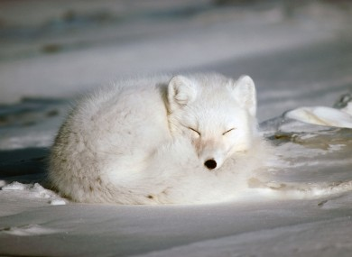 Arctic Fox sleeping in Alaska. An Arctic fox is on the logo of the Arctic Council.
