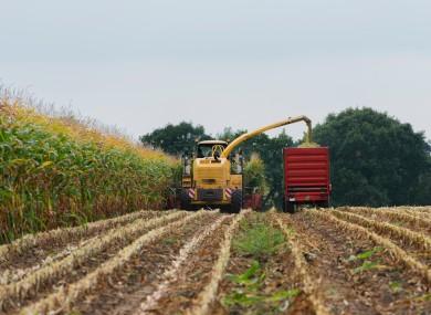 Harvesting maize.
