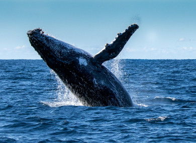 A humpback whale (probably not the one that swallowed Mr Packard)