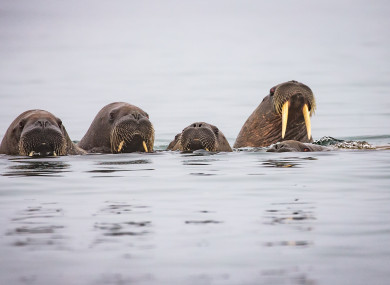 Before you ask yes there are five walruses in the photo.