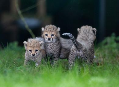 Three of the newborn cubs